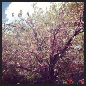 Appleblossom trees.